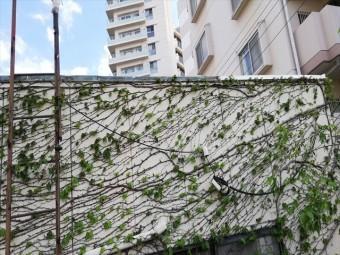 明石市の外壁のツタ