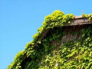 屋根まで到達した蔦